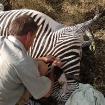 Collaring Grevy's Zebra