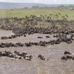 Gnu crossing the Mara river, Kenya