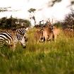 Onyxes and zebras, Loisaba, Kenya