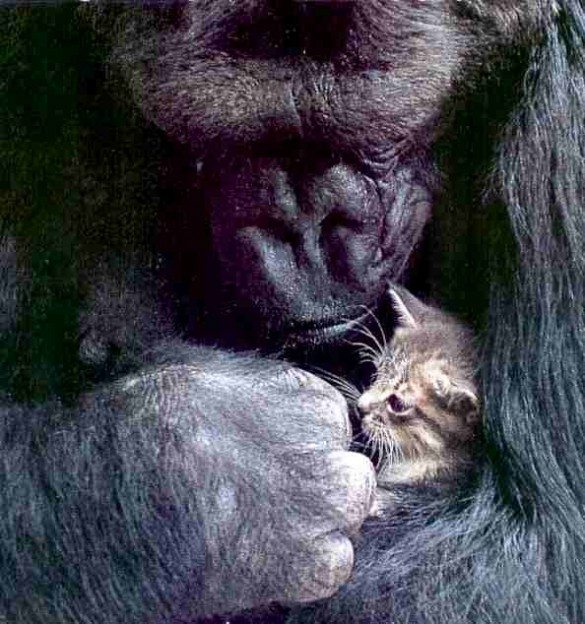 koko, gorilla, talking gorilla, koko and pet kitten