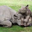 Black rhino calf and its mother at Port Lympne Wild Animal Park