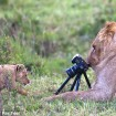 Young lions play with camera