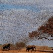 Elephants scared by flock of birds