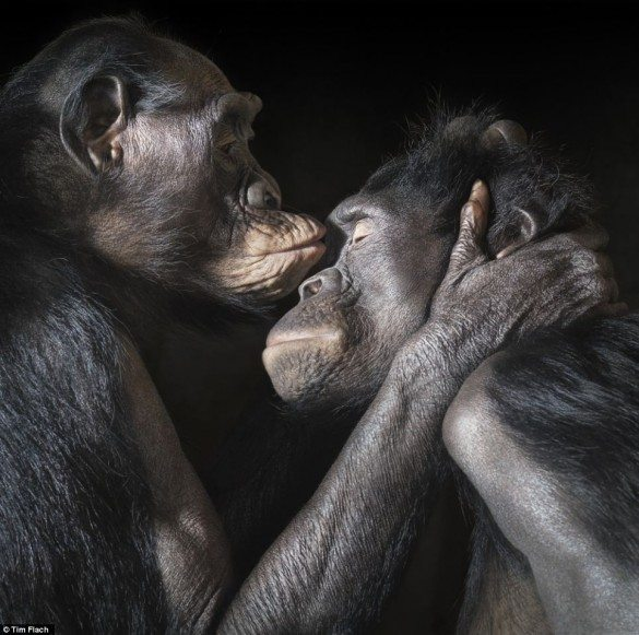 tim flach, more than human, animal photography, monkeys, monkey, affection, macro photography