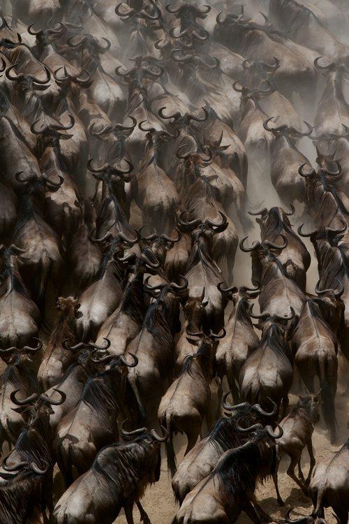 wildebeest, masaai mara, mara, edu bernabeu, photography