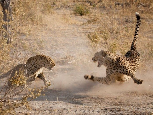 leopard, cheeta, animals, fighting, africa, wildlife, safari