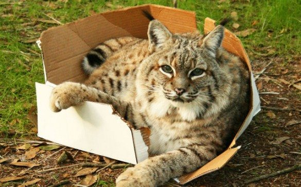 cats, boxes, cats love boxes, cat box, lion box, cat lion box, big cat, save lion, save tiger