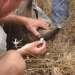 Inserting a transmitter to a rhino horn