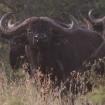 Cape buffalo, Tanzania
