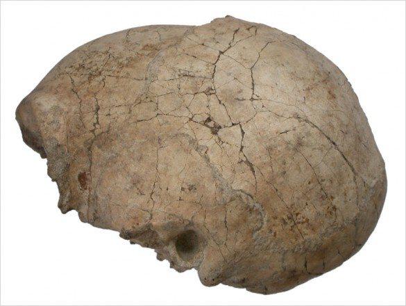 Fossil -skull