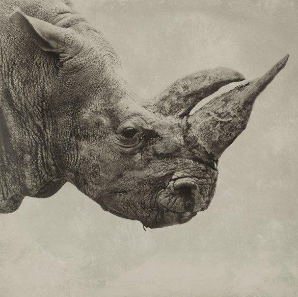 Steven Milijavac, animals, monkey, portraits, wildlife, sepia, vintage, rhino, tiger, ostrich, elephant, gorilla, monkey
