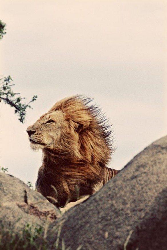 lion, photography, pride, proud, wind, blowing, proud lion, lion profile