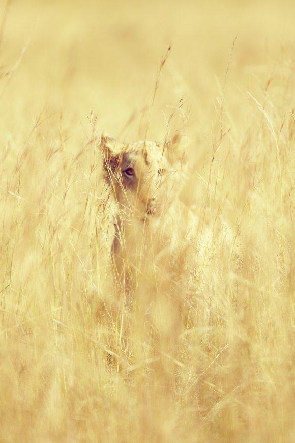 leopard, lion, photography, animals, wildlife, african wildlife, african animal