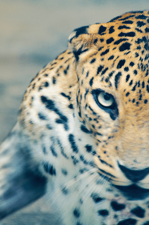 leopard, photograph, photography