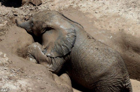 baby elephant, baby elephant rescued, baby elephant rescued by conservationists, amboseli trust, amboseli national park, baby elephant trapped in well