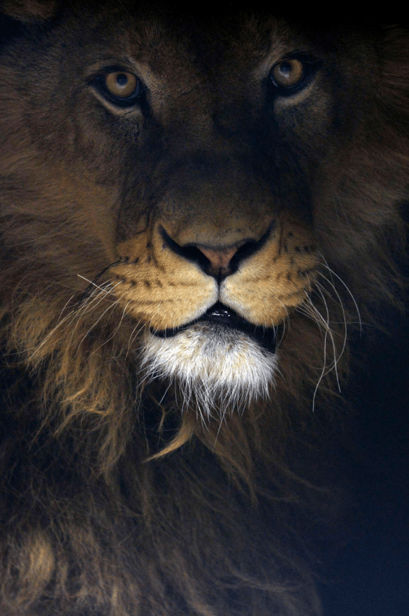 lion, shadow, photography, wildlife