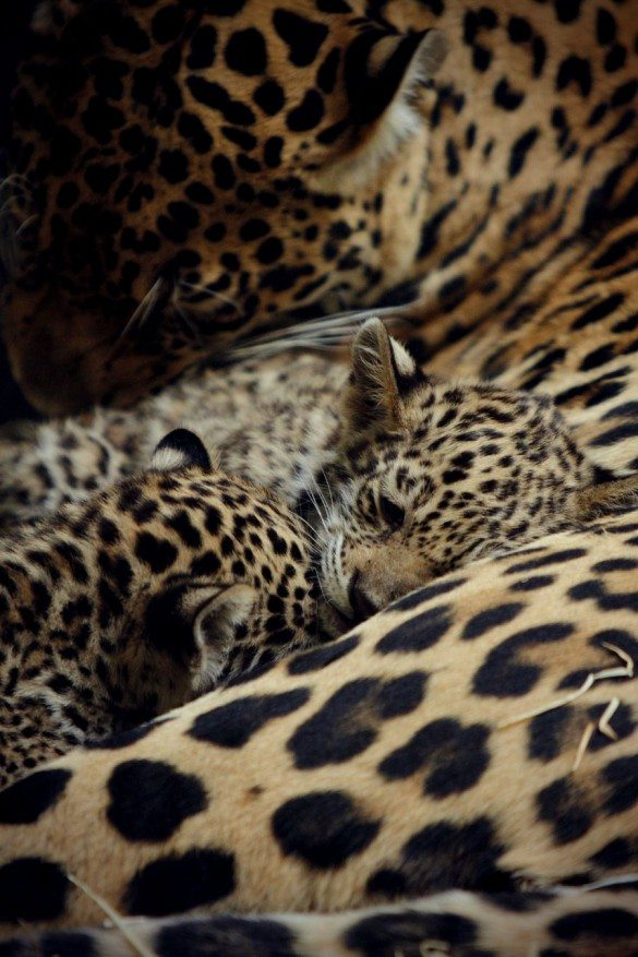 leopards, cubs, photography, african animals