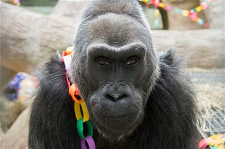 colo, gorilla, oldest gorilla, 56th birthday, gorilla birthday, western lowland gorilla