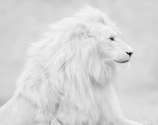 white lion, liion, leopard, african wildlife, safari, cheetah, giraffe