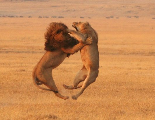 lions, fighting, wildlife, africa, african lions