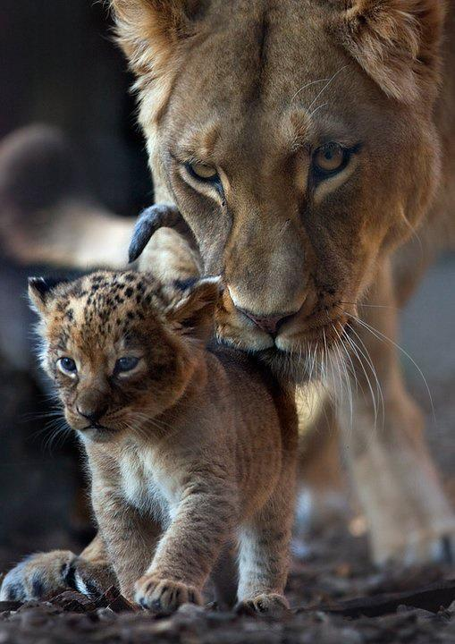 Lion cub, lion, lion mother, female lion