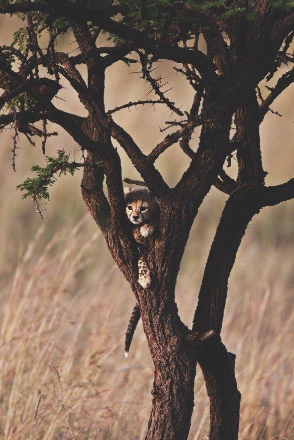 cheetah, cheetah cub, safari, africa, wildlife, african wildlife