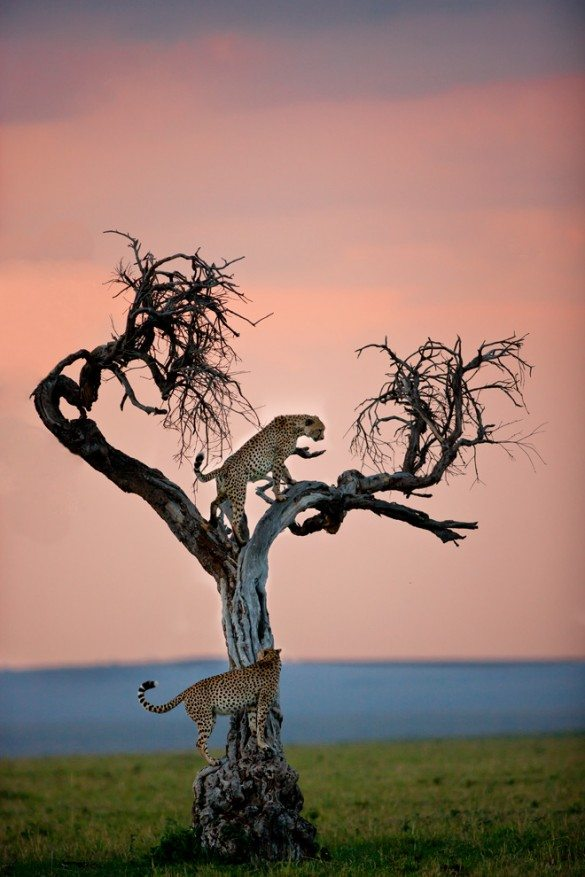 leopard tree, leopards, spots, tree, setting sun, sun set