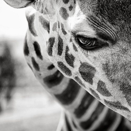 giraffe, eyes, photography