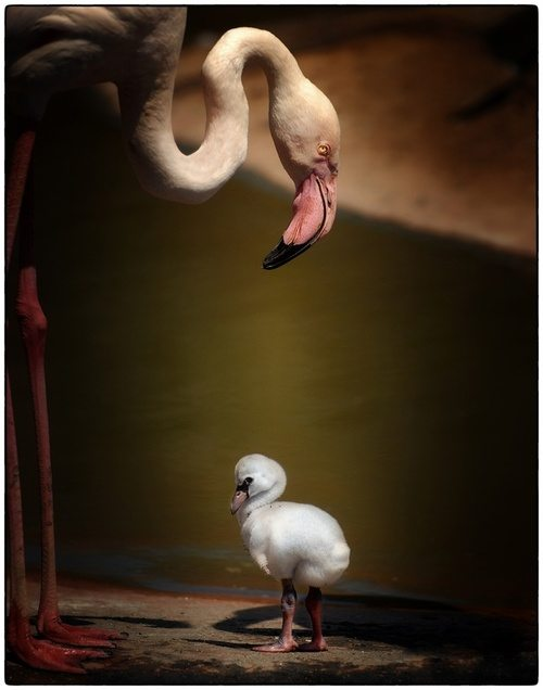 flamingo, baby flamingo, small flamingo, animals, wildlife, african wildlife, african flamingo
