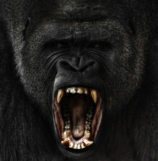 gorilla, male gorilla, roar, gorilla roaring,