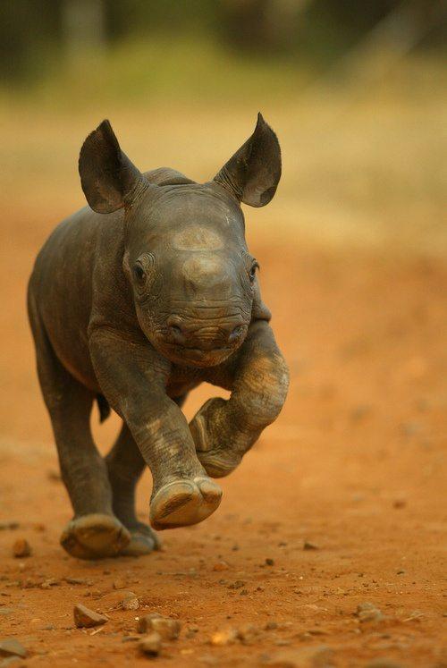 kapela, rhino, wildlife, baby rhino, calf, rhino calf,